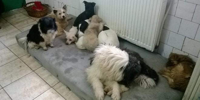 Miercurea-Ciuc: Campanie de sterilizare gratuită a câinilor