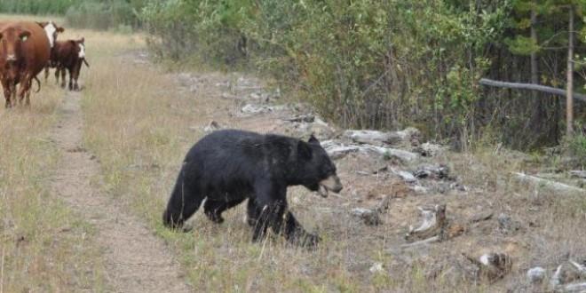 Doi urşi care vin în căutare de hrană în staţiunea Băile Tuşnad vor fi capturaţi şi transportaţi într-un alt fond de vânătoare