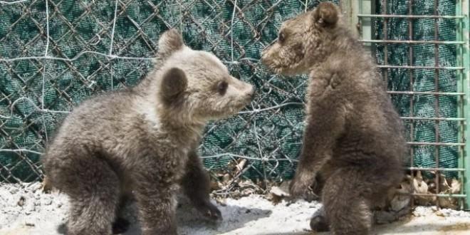 Trei ursuleţi din Serbia au fost aduşi la Centrul pentru Urşi Orfani din oraşul Bălan