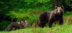 Două ursoaice care provoacă mari stricăciuni în Voşlăbeni şi Izvoru-Mureşului vor fi relocate