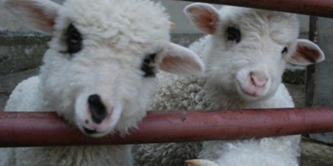 În Harghita au fost evaluate două centre de colectare a ovinelor pentru export