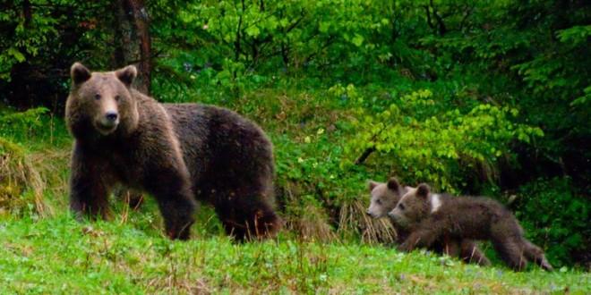 Băile Tuşnad: Turişti speriaţi de urşi