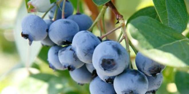 Cantitatea de afine recoltată de Direcţia Silvică Harghita în acest an s-a triplat faţă de 2013