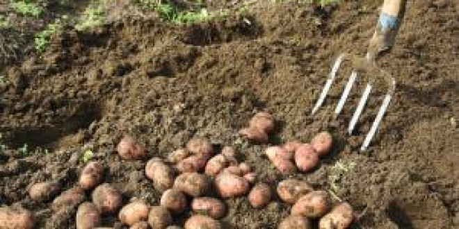 Suprafaţa cultivată cu cartofi în judeţ a scăzut cu aproximativ 10% faţă de anul trecut