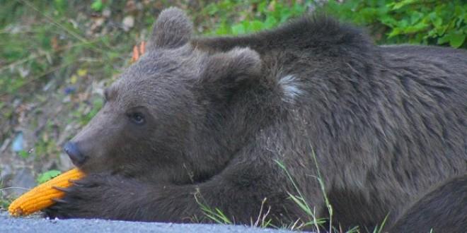 """""""Este nevoie de o revizuire a politicii privind protecţia urşilor!"""""""