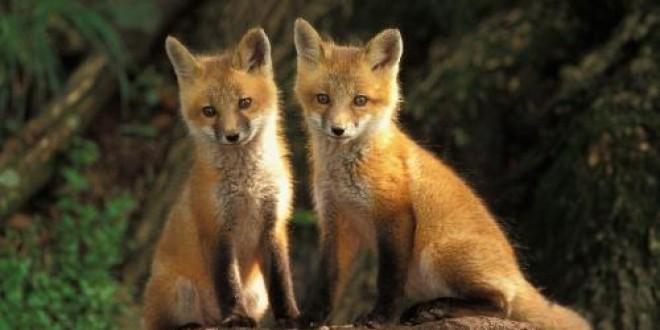 Vânătoare de vulpi