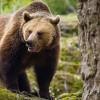 Tulgheş: Braconieri căutaţi de poliţişti după ce au prins în laţ o ursoaică