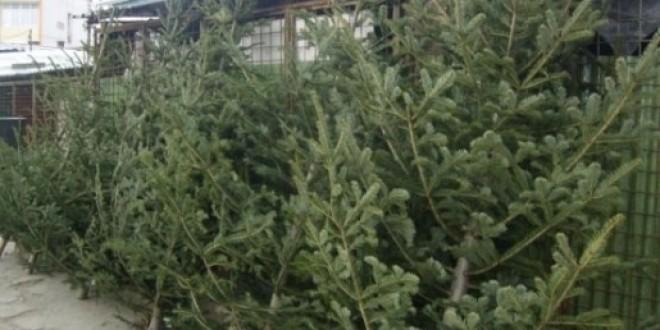 900 de pomi de Crăciun, oferiţi spre vânzare de Direcţia Silvică