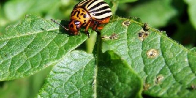 Agricultura, la vremea în care Gândacul de Colorado e pe… val