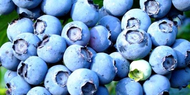 Până în acest moment: Cantitatea de afine recoltată de Direcţia Silvică Harghita, de patru ori mai mică faţă de aceeaşi perioadă a anului trecu
