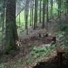 Un brad alb stă de veghe de aproape 500 de ani în Parcul Naţional Cheile Bicazului-Hăşmaş