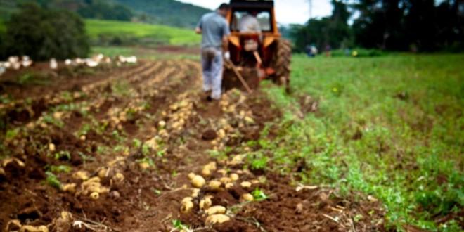 Culturile de cartofi ameninţate de mană, în urma ploilor abundente şi repezi din ultimele 40 de zile