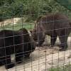 Treizeci de urşi din Harghita şi Mureş vor fi capturaţi în următorii ani
