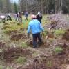 Campania de împăduriri din această primăvară a ajuns la final pe suprafeţele administrate de Direcţia Silvică Harghita