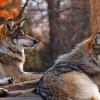A demarat acţiunea de evaluare a efectivelor speciilor de animale strict protejate – urs brun, lup, râs şi pisică sălbatică pentru anul 2017