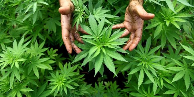 Cultură de cannabis, descoperită în comuna Feliceni