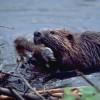 Probleme serioase create în Harghita de înmulţirea excesivă a populaţiei de castori
