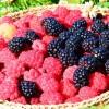 Cantitatea de fructe de pădure recoltată de Direcţia Silvică, mult mai mică decât cea previzionată şi decât cea de anul trecut