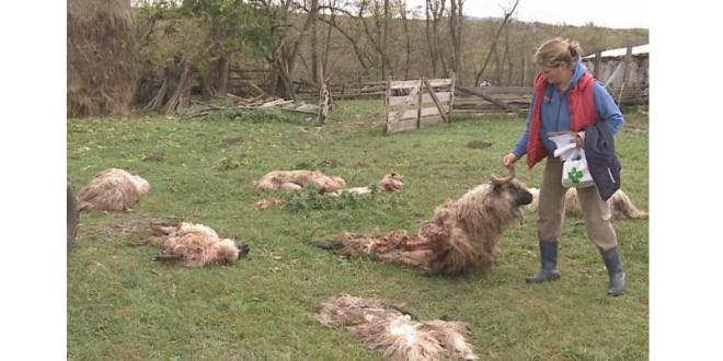 O haită de lupi a atacat o stână de lângă Făgeţel