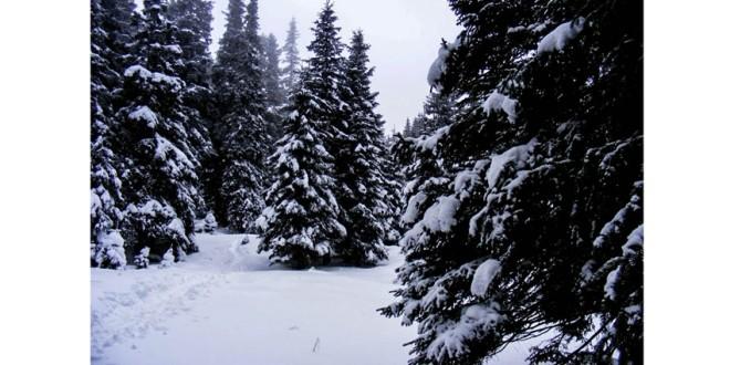 Aproximativ 1.000 de pomi de Crăciun, oferiţi spre vânzare de Direcţia Silvică Harghita