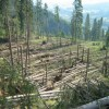 Vijeliile din ultimele săptămâni au doborât peste 130.000 metri cubi de lemn din pădurile harghitene