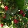 În acest an, Direcţia Silvică Harghita îşi propune să colecteze o cantitate de 160 tone de fructe de pădure