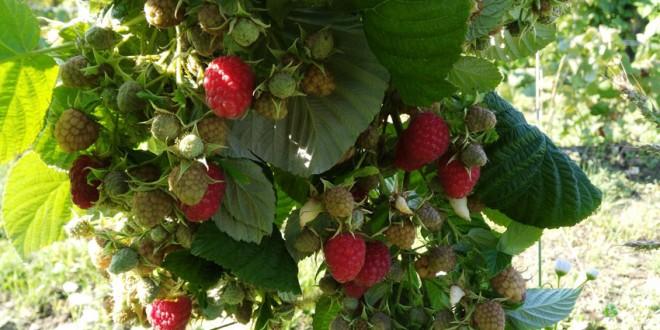 În acest an, Direcţia Silvică Harghita şi-a propus colectarea a 80 de tone de fructe de pădure, care vor fi livrate în special către Germania