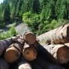Cantitatea de material lemnos tăiată ilegal a scăzut de 3 ori faţă de aceeaşi perioadă a anului trecut