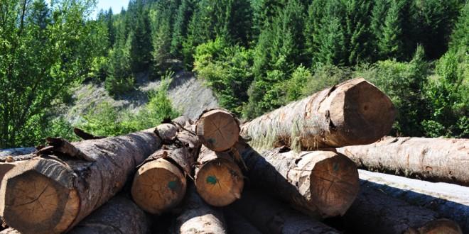<h5><i>Din analiza Direcţiei Silvice Harghita pe trimestrul I 2020</i></h5>Volumul de material lemnos tăiat ilegal, în uşoară creştere faţă de aceeaşi perioadă a anului trecut
