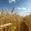 Harghita, cea mai mare producţie de grâu din toate timpurile