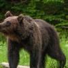 Pe cele trei fonduri de vânătoare gestionate de DS Harghita, numărul de exemplare de urşi este dublu faţă de cel optim
