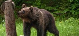 Medicii SJU din Miercurea Ciuc au salvat viața unui om atacat și vătămat grav de urs