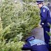 Un număr de 211 de pomi de Crăciun au fost confiscaţi în acest an