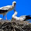 Societatea Ornitologică Română îi invită din nou pe harghiteni să ajute la protecţia berzelor
