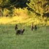 Preşedintele Consiliului Judeţean (CJ) Harghita a cerut relocarea ursoaicei cu pui de la Băile Tuşnad