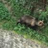 """Miercurea Ciuc: Un urs, care a îngrozit locuitorii din preajma Colegiului Naţional """"Octavian Goga"""", a fost împuşcat"""