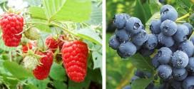 Cantitatea de fructe de pădure colectată de Direcţia Silvică Harghita a scăzut substanţial faţă de anul trecut