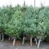 Peste 1.000 de pomi de Crăciun oferiţi spre vânzare de Direcţia Silvică Harghita