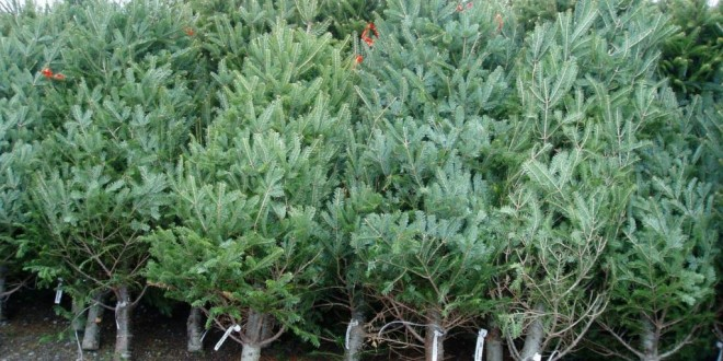 Aproximativ 1.200 de pomi de Crăciun scoşi la vânzare de Direcţia Silvică Harghita