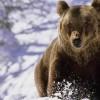 Ursul a atacat un cetăţean ungar, într-o pădure din zona Cristur