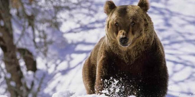 Ordin de extragere pentru ursul care a intrat în mai multe gospodării din Miercurea Ciuc