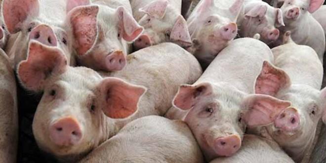 """Harghita """"în alertă"""", după apariţia focarelor de pestă porcină africană în judeţul vecin, Covasna"""