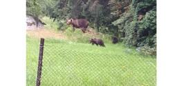 Tot mai mulți urși semnalați în localitățile harghitene