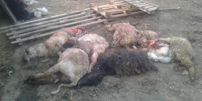 Pagube de peste 300.000 de lei provocate de animale sălbatice în Harghita