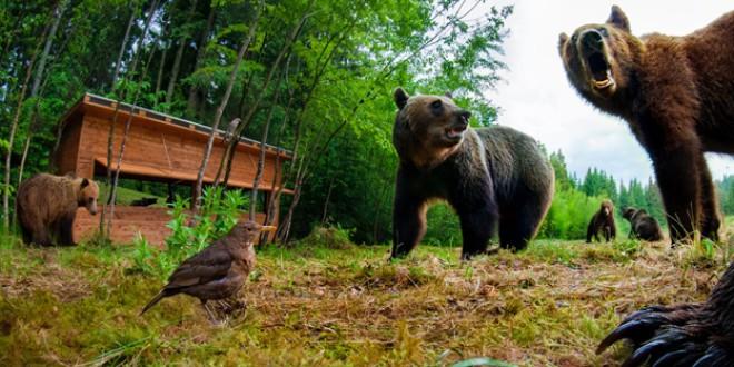 Administraţia locală se îndreaptă spre Bruxelles pentru a rezolva creşterea fără precedent a numărului de urşi
