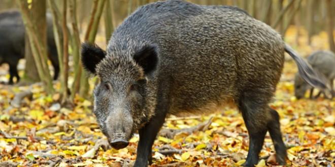 Pestă porcină africană, confirmată în județ