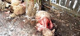 O ursoaică cu pui a omorât 11 oi din gospodăria unui localnic din Voşlăbeni