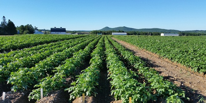 Vreme ideală pentru culturile de cartofi, dar şi pentru dezvoltarea manei şi dăunătorilor