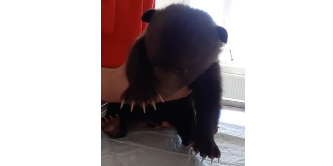 Un pui de urs găsit în judeţul Argeş, primul care ajunge în acest an la Orfelinatul de urşi din Bălan