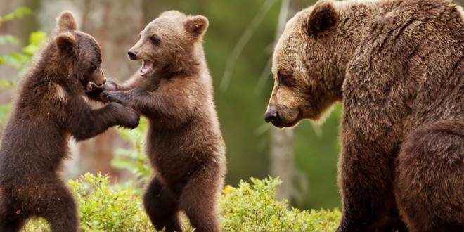 Multe apeluri la 112 din cauza urşilor